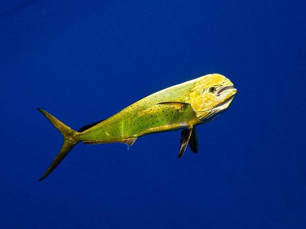 рыба-дельфин фото
