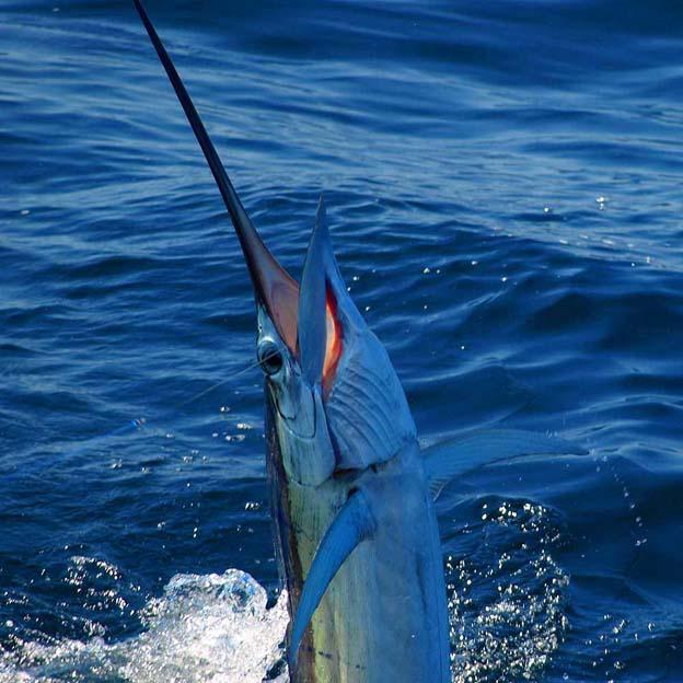 Картинки рыбу меч
