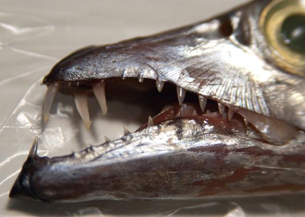 нашем рыба сабля картинки совершенно другой, абсолютно