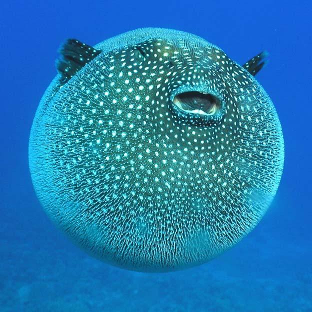 Рыба – мяч