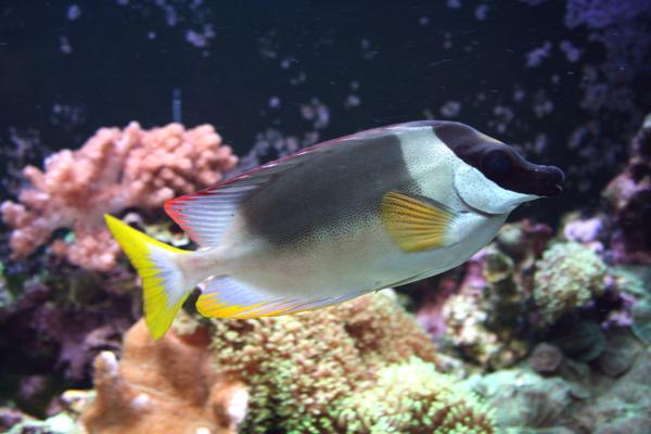 Хорошая вооруженность рыбы-зайца не предохраняет их от потребления в
