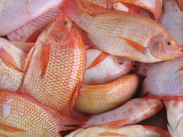 Рыба – курица