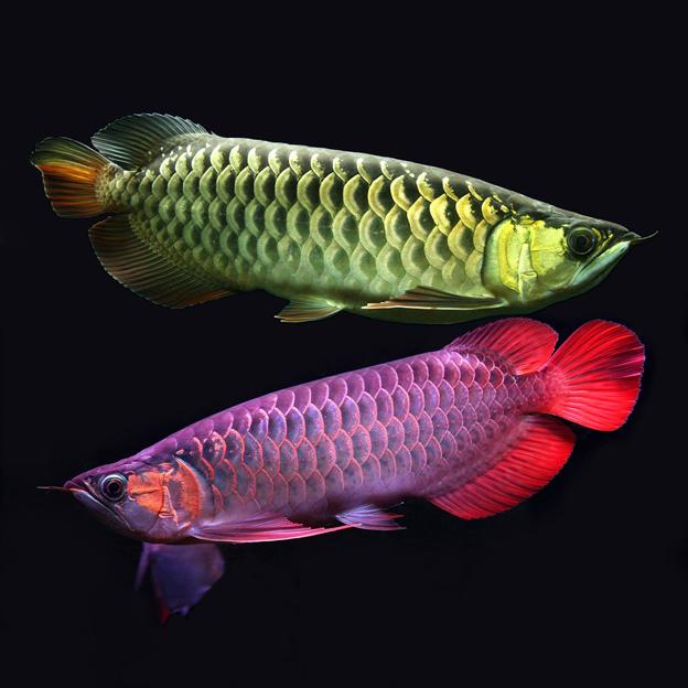 Рыба – дракон