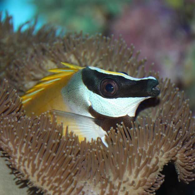 фото морская лиса