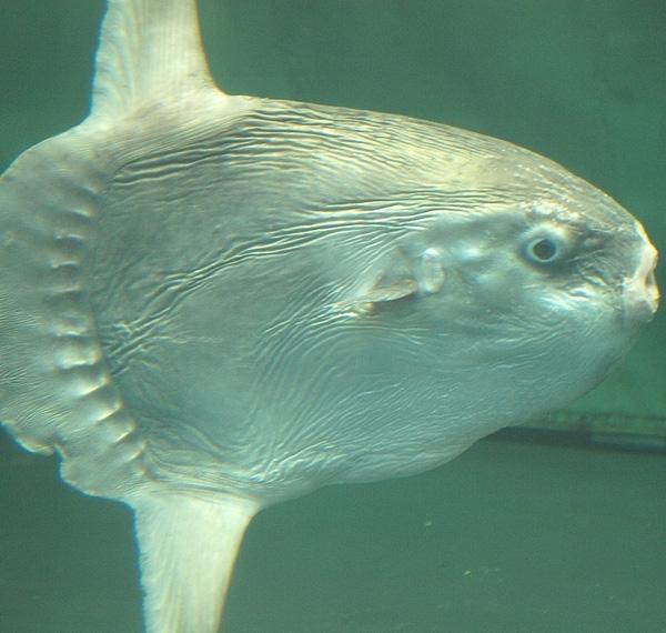 Рыба-луна - блюдо на любителя, её едят вареной или жареной.