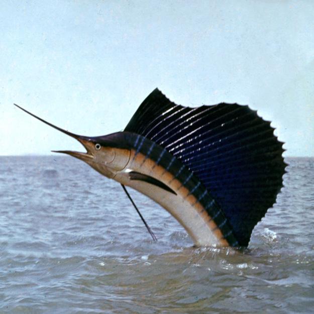 Рыба – парусник